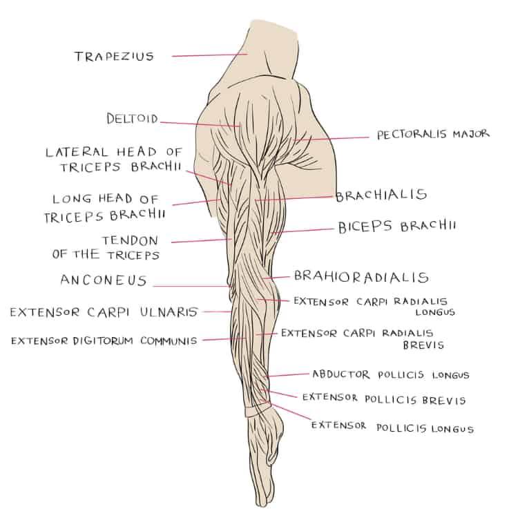 Anatomy of the arm