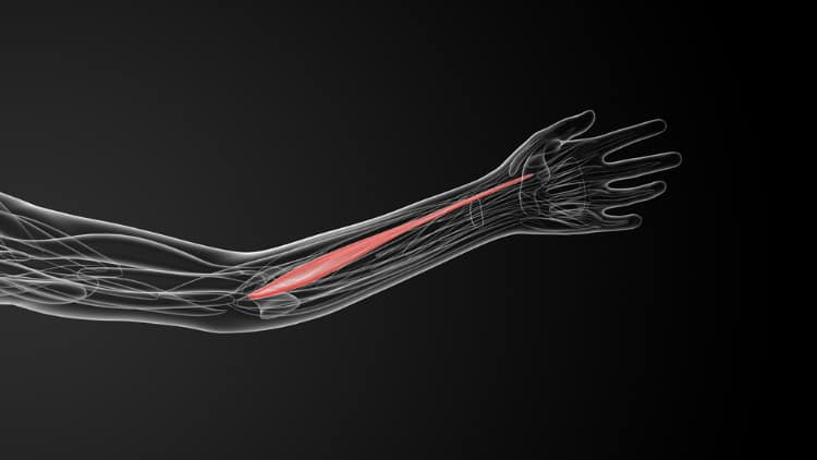 Illustration showing the location of the flexor carpi radialis muscle