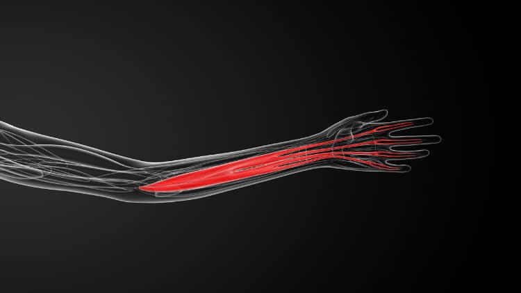 Illustration showing the anatomy of the flexor digitorum superficialis muscle