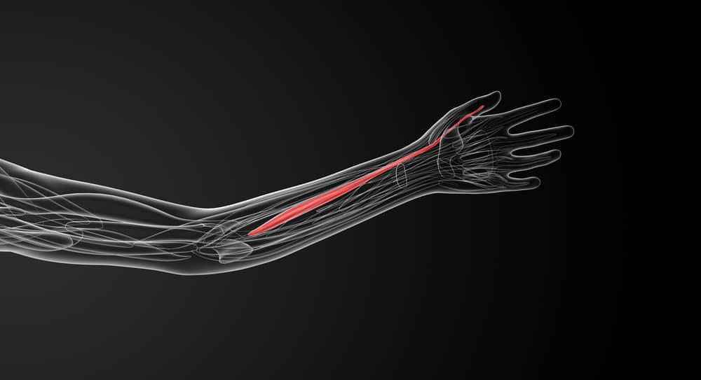 Illustration showing the flexor pollicis longus anatomy