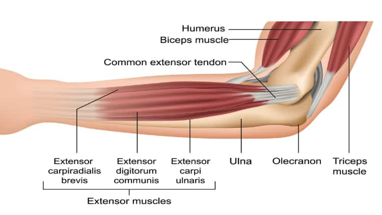 Diagram of the forearm extensor muscles