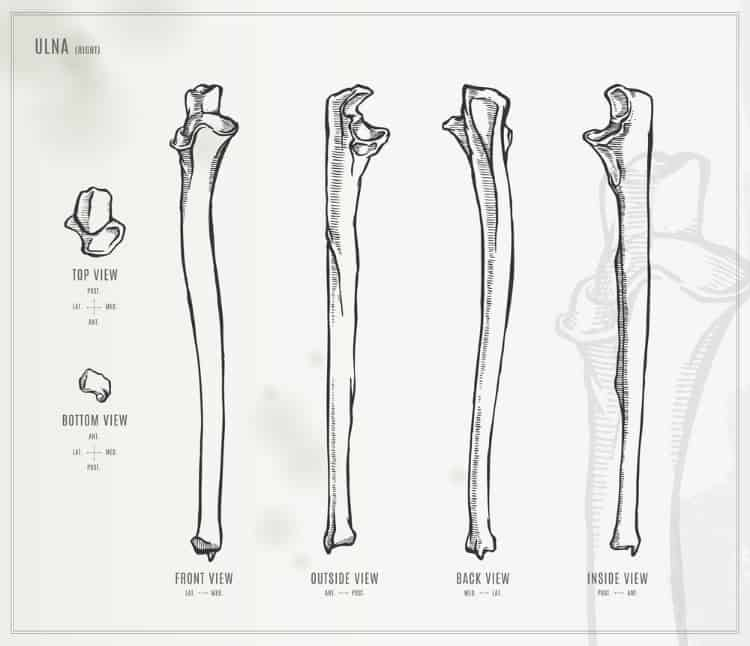 A diagram of the ulna forearm bone