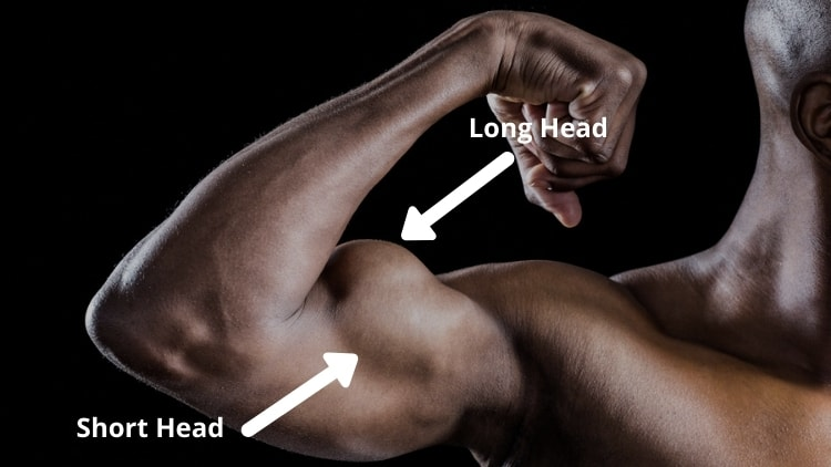 The long and short head of the biceps brachii