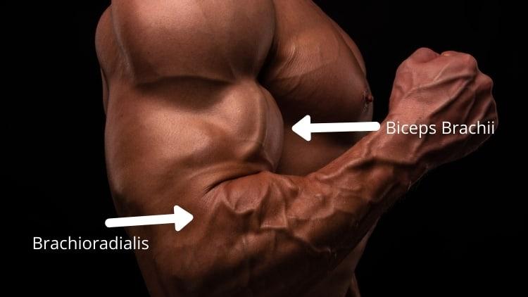 The biceps brachii and brachioradialis