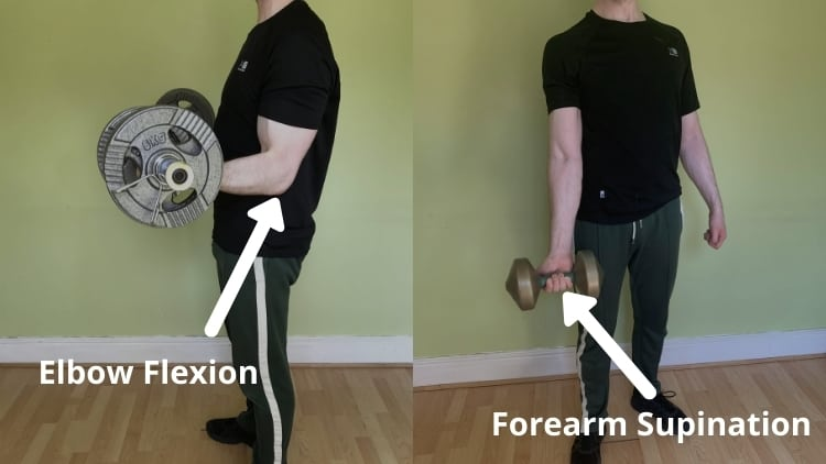 A man demonstrating the function of the biceps brachii; elbow flexion and forearm supination