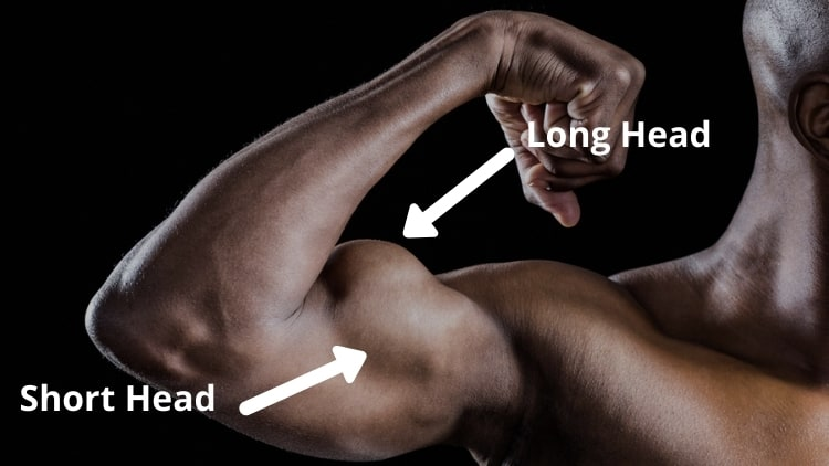 The anatomy of the biceps brachii muscle