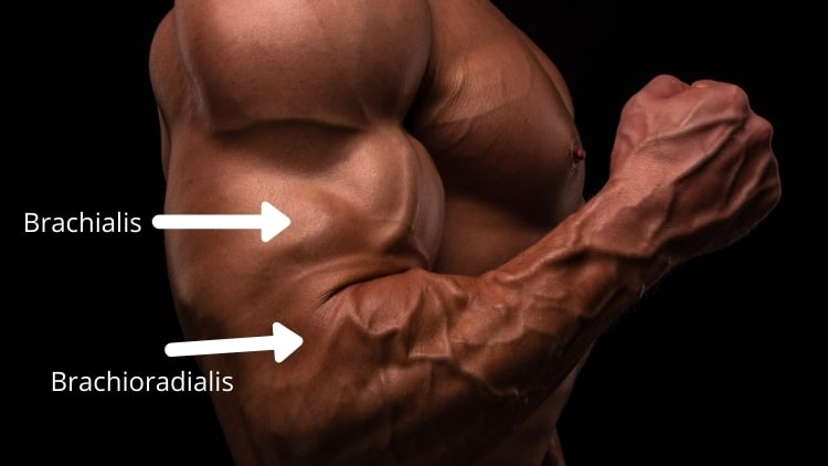 The brachialis and brachioradialis muscles