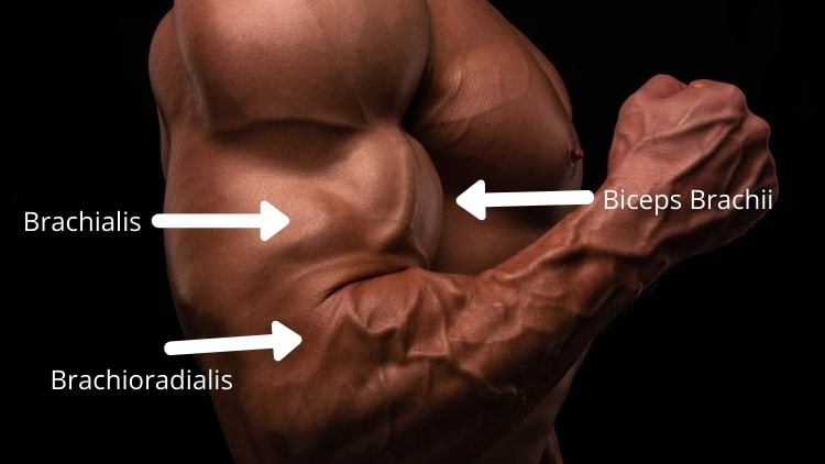An image of the muscles worked during DB hammer curls
